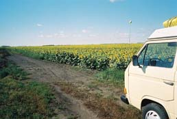 north-dakota-sunflowers