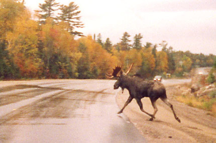 superior-moose